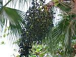 Acai (Euterpe oleracea) Palm Tree from South America.