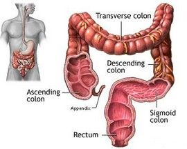 Colon Cleanse Information / Colon Anatomy
